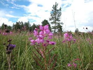 お花の時期にはエーデルワイスを始め高原の花々が咲き乱れます