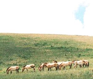 ホスタイ国立公園で保護されている野生馬タヒ